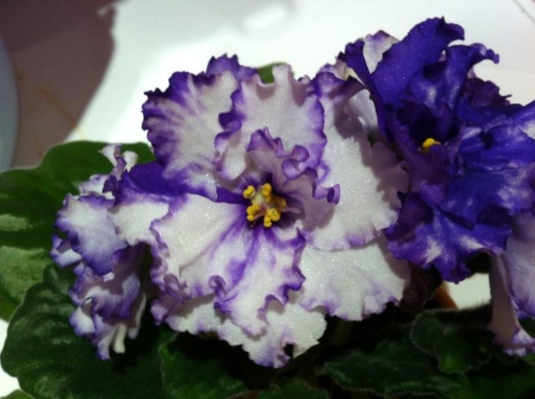 Белые цветы с синим ободком