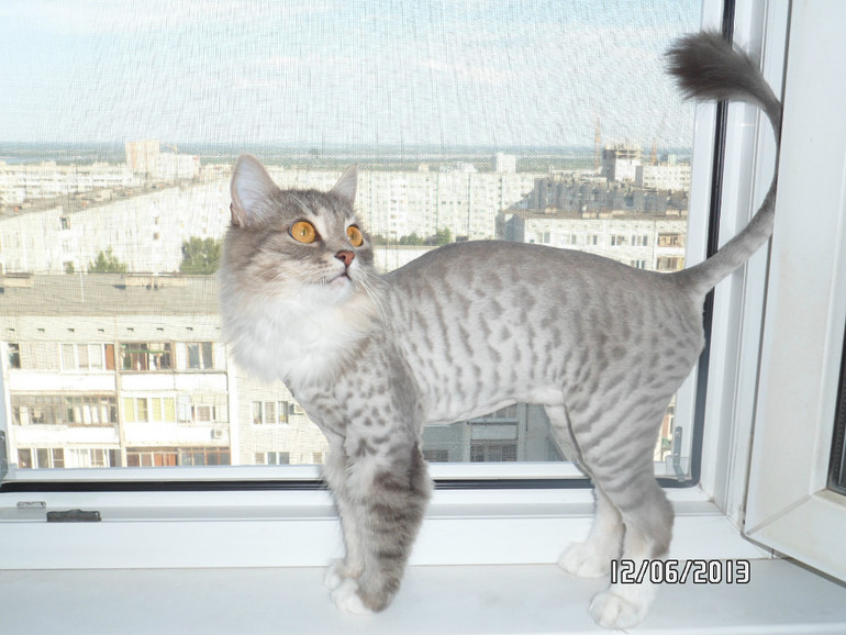 Стриженный шотландец кот