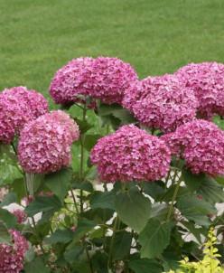 Hydrangea arb. Pink Annabel/древовидная гортензия