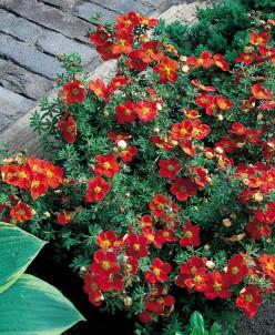Potentilla f. Marian Red Robin/лапчатка кустарниковая