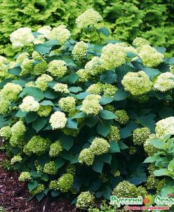 Hydrangea arb. Lime Ricky/гортензия древовидная