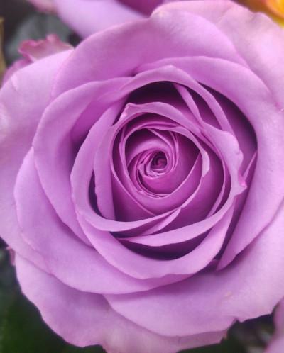 Роза чайно-гибридная Cool Water 1 шт.