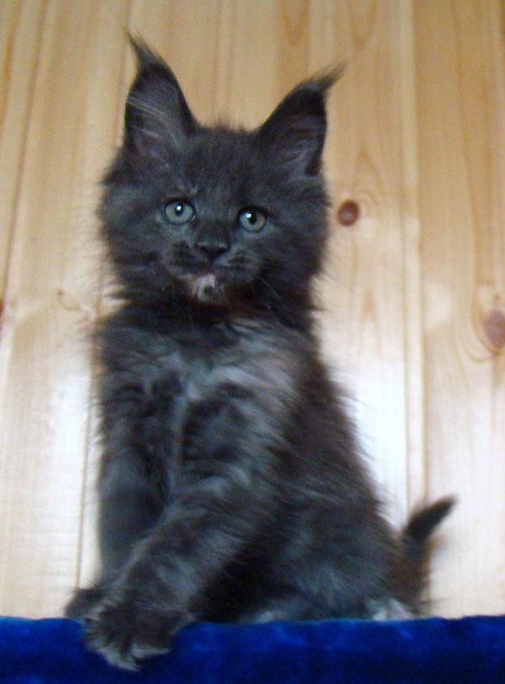 www.mcoon.ru питомник мейн кунов Catsvill County