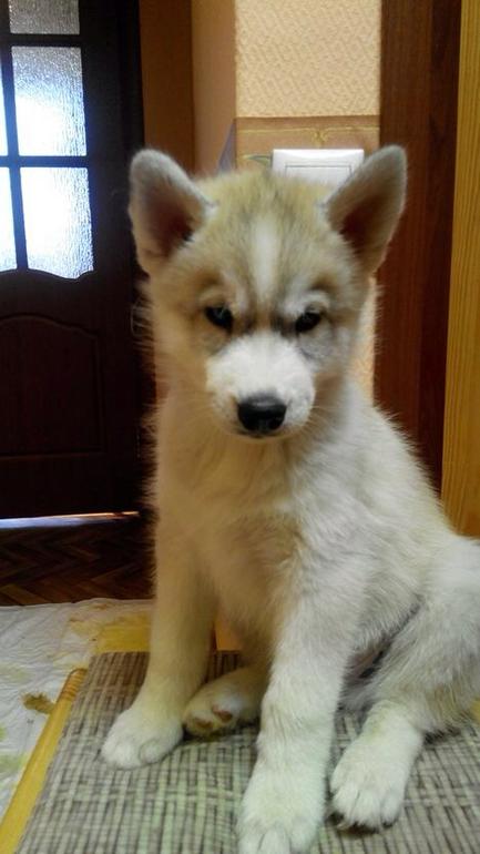 Продаются очаровательные щенки сибирской Хаски!