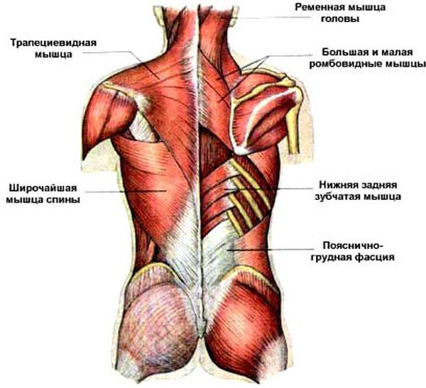 Болят мышцы спины вдоль позвоночника