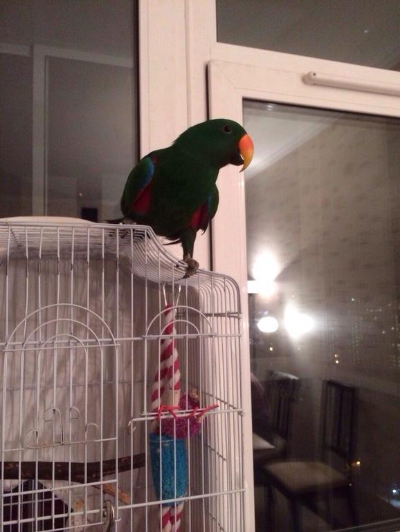 СРОЧНО!!!!! Продам Благородного попугая (эклектус роратус)!
