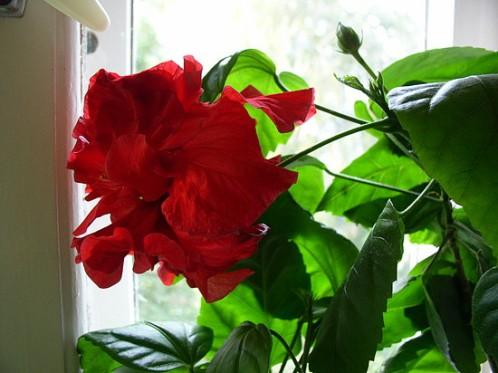 Роза.уход в домашних условиях фото