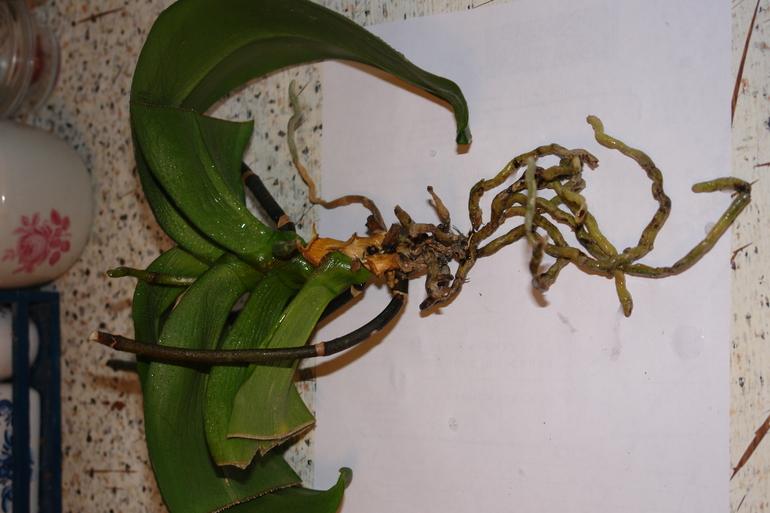 Гибнет орхидея как спасти