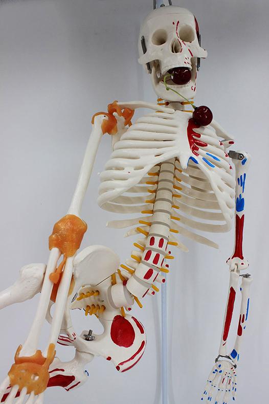 """Модель """"Скелета человека 85 см"""" (Гнущийся раскраш)"""