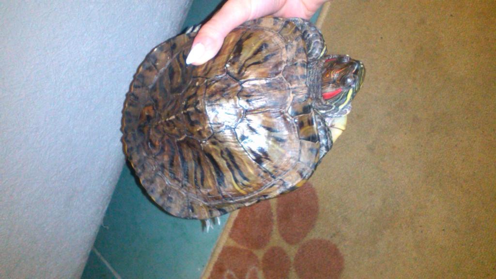 Отдам даром красноухую черепаху