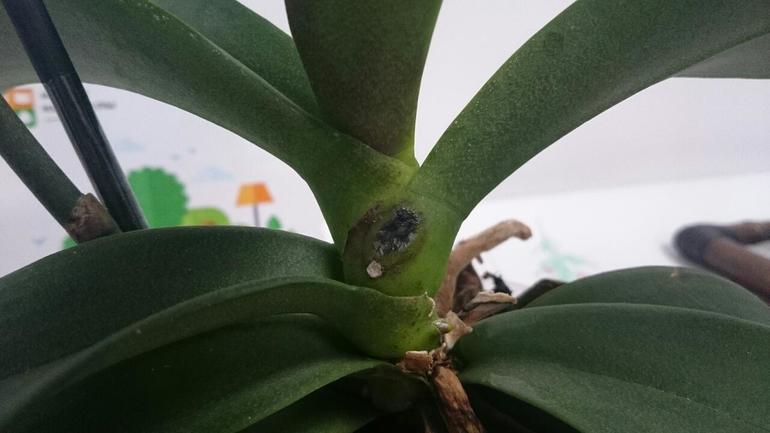 как вылечить орхидею от гнили
