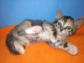 Ласковые котята девочки1,5мес.в добрые руки в дар
