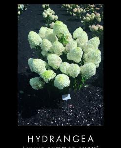 Hydrangea paniculata Summer Snow р9