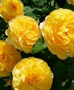 Роза  / Молинекс