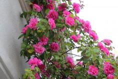 Роза плетистая Zephirine Drouhin