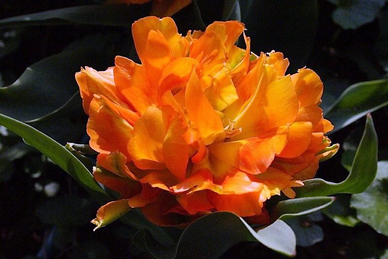 Тюльпан махровый ранний Виллем ван Оранж, 25 шт.