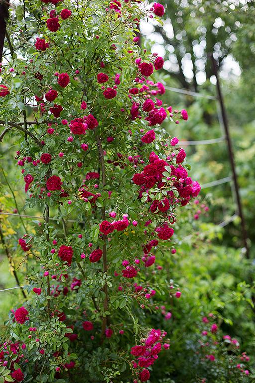 нужно ли обрезать розы осенью розы фото