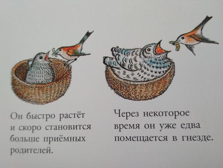 Картинки бианки кукушонок